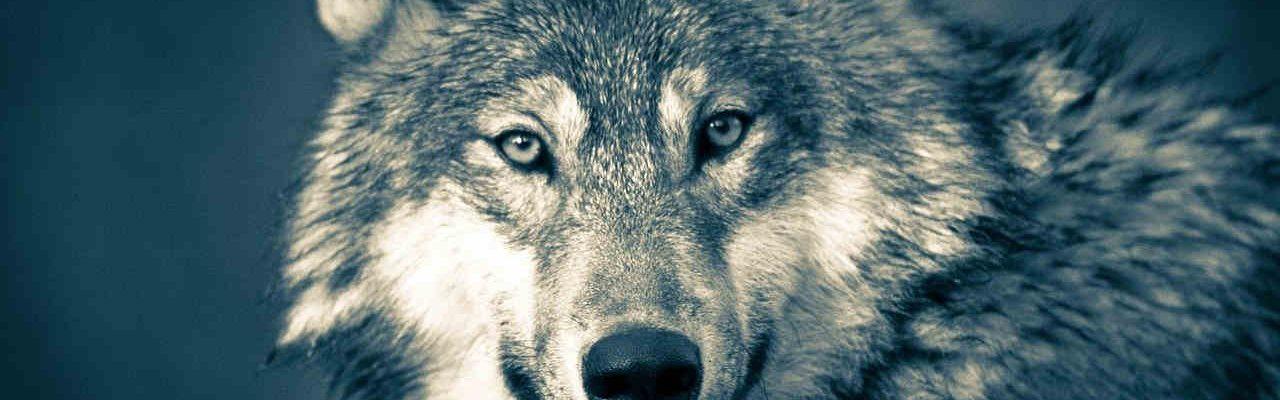 lobos esteparios
