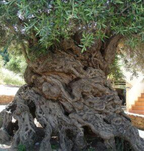 El olivo de Vouves